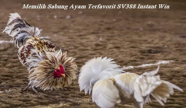 Memilih Sabung Ayam Terfavorit SV388 Instant Win